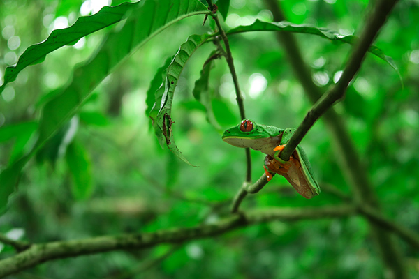 2016 Student Photo Contest 3rd Place: Red Eye Tree Frog; Puerto Viejo, Costa Rica